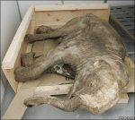 Mammoth Mummy