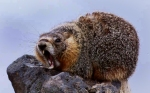 Marmot's whistle at point-blank